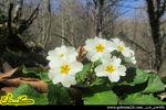 عکس های زیبا از گل پامچال در جنگلهای گلستان