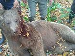 کشته شدن خرس قهوه ای در بندرگز