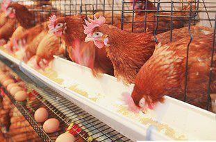 افزایش تولید مرغ در گلستان/ قیمت مرغ برای نزدیک شدن به قیمت جهانی افزایش مییابد