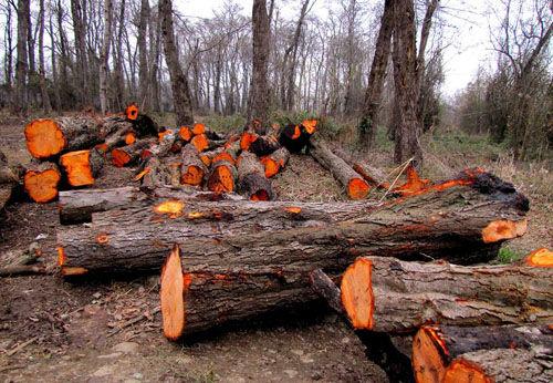 قطع غیرقانونی درختان در گرگان + فیلم
