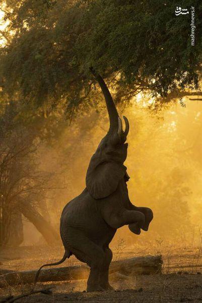 ایستادن فیل روی دو پا + تصاویر