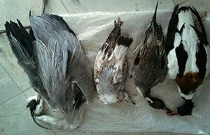 شکارچی غیرمجاز تالاب آلاگل در دام محیط بانان