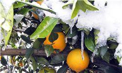 خسارت  252میلیارد تومانی سرما به بخش کشاورزی گلستان