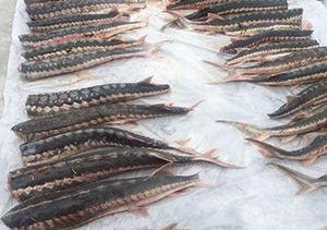 سدسازی ماهیان خاویاری را در معرض خطر قرار داده است