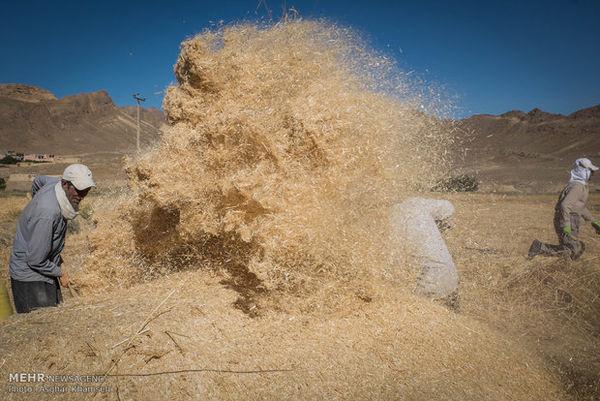 حکم عامل قاچاق ۴۰۰۰ تن گندم دولتی در گلستان اعلام شد