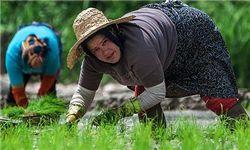 افزایش کشت برنج در گلستان