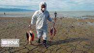 لاشه هزار و ۴۰۴ پرنده تلفشده در خلیج گرگان جمعآوری شد
