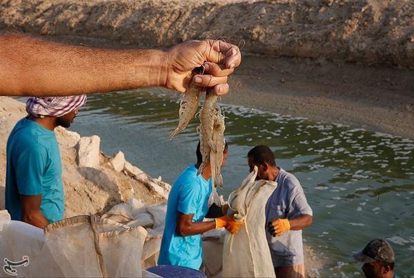 ۳۸ هزار تن میگو در کشور تولید میشود