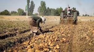 برداشت بهارانه سیب زمینی از مزارع گلستان