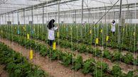 اشتغالزایی 14 هزار نفری گلخانه ها / بهره برداری از 8/7 هکتار گلخانه در گرگان طی سال 99