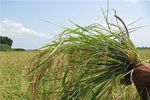 ۲۰ درصد اراضی گندم شمال استان گلستان خسارت دید
