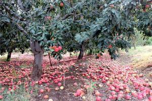 سیب کیلویی 100 تومان !!!+ تصاویر