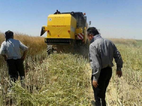 آغاز خرید محصولات کشاورزی در آزادشهر/ خرید ۲۲۰ تن کلزا از کشاورزان