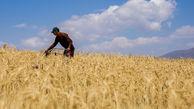 رشد ۳۵۳ درصدی تولید گندم طی ۴۰ سال اخیر/ برنامهای برای صادرات نداریم