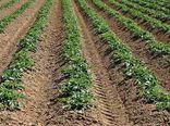 توصیه جهاد کشاورزی گلستان به سیب زمینی کاران