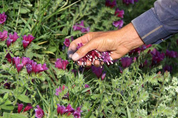 مطالعه توسعه زراعت گیاهان دارویی در گلستان به پایان رسید