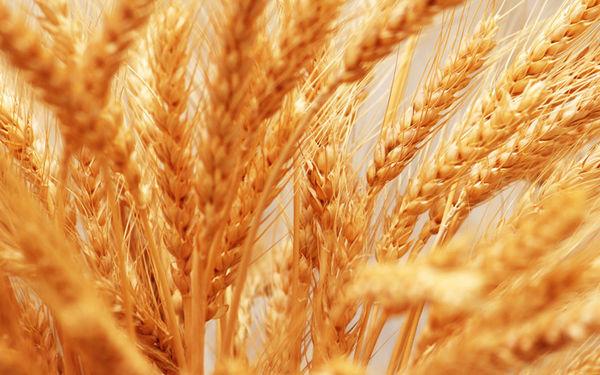 پیش بینی خرید یک میلیون و ۳۳۶ هزارتن گندم در استان گلستان