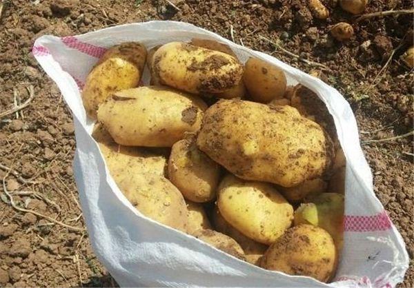 خرید بیش از 8000 تن سیب زمینی مازاد از کشاورزان گلستانی