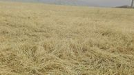تندباد ۵۰۰ میلیارد به کشاورزی گلستان خسارت زد