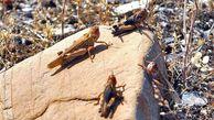 بیش از ۲۰ هزار هکتار از مراتع گلستان آلوده به ملخ مراکشی است