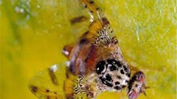 باغداران برای کنترل آفت مگس میوه مدیترانهای چه کارهایی انجام دهند؟