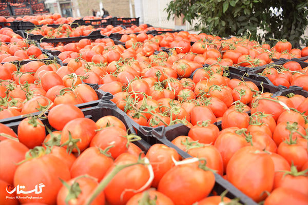 بازار فروش گوجه فرنگی در میدان بار گرگان