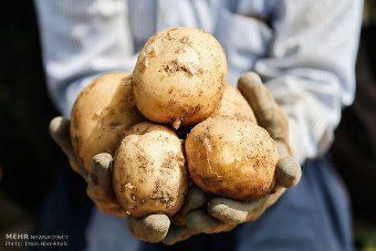 پرداخت 100 درصد وجوه سیب زمینی تضمینی کشاورزان گلستانی / خرید بیش از 8 هزارو 700 تن سیب زمینی از کشاورزان استان