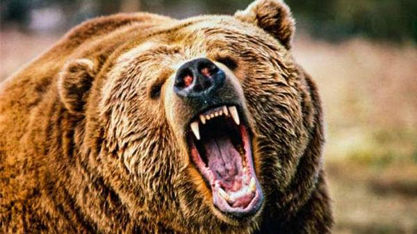 حمله خرس قهوه ای به یک دامدار در روستای زیارت