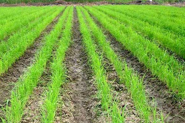 خشکه کاری برنج در بندرگز توسعه می یابد