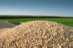 پیش بینی تولید ۴۶ هزار تن سویا در گلستان