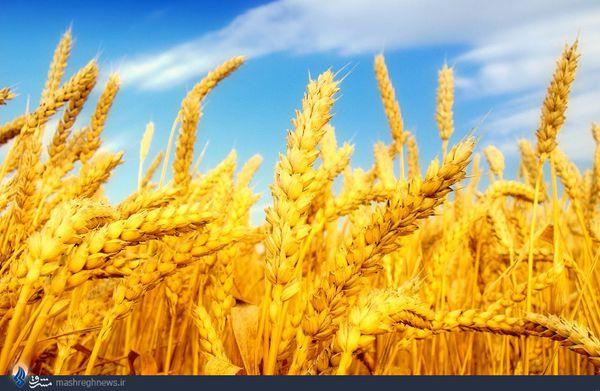 پیش بینی برداشت ۱۴ و نیم میلیون تن گندم از گندمزارهای کشور