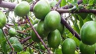 500 تن گوجه سبز از سطح باغات استان برداشت شد
