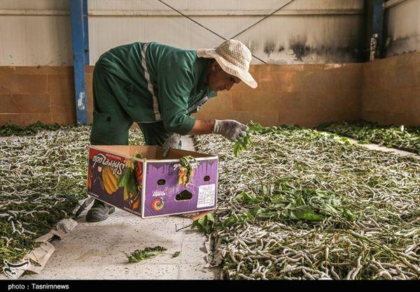 زنجیره نوغانداری در استان گلستان تکمیل میشود