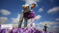 زعفران وامنان گلستان در یک قدمی تجاریشدن