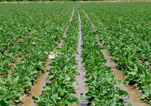 حمایتهای دولتی برای ترغیب کشاورزان به کشت چغندرقند