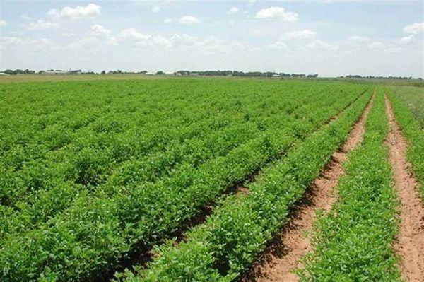 کاهش حداقل ۲۰ درصد سطح زیر کشت در گلستان ضروری است