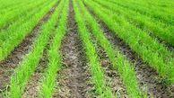مزایای خشکه کاری برنج؛ از صرفه جویی در مصرف آب تا کاهش هزینه ها