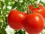 آغاز کشت گوجه فرنگی صادراتی در گالیکش