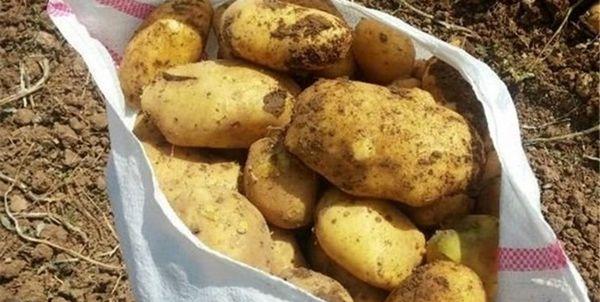 بیماری «فیتوفترا» در کمین سیبزمینیکاران گلستانی