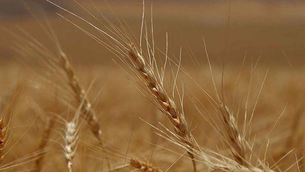 آمادگی ۴ مرکز خرید تضمینی برای محصولات کشاورزی در شهرستان ترکمن