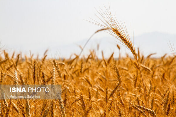 مصائب گندمکاران گلستان از کاشت تا داشت