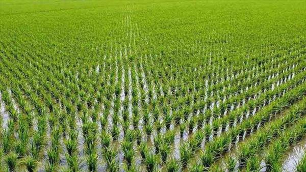کشت حدود ۱۷ هزار هکتار برنج تاکنون در گلستان