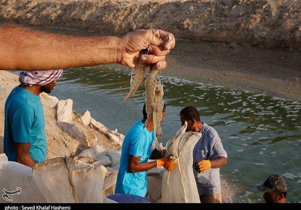 ۸۰ درصد میگوی استان گلستان روانه بازارهای جهانی میشود
