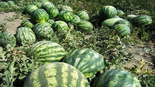 پیش بینی تولید ۲۴۰ هزار تن هندوانه در گلستان