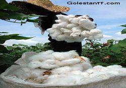 برداشت پنبه در استان  گلستاناغاز شد.