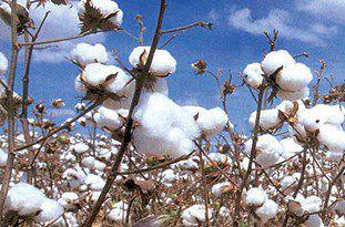 700 تن بذر استاندارد در بین پنبهکاران گلستانی توزیع میشود