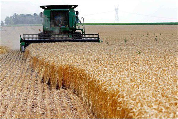 تولید سالانه ۱۵ میلیون تن گندم تا پایان سال ۱۴۰۵