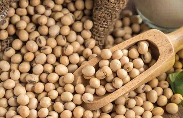 توزیع بذر سویا در گلستان آغاز شد/ پیشبینی کشت در ۱۸ هزار هکتار