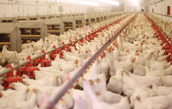 تولید مرغ در گلستان ۶ درصد افزایش داشت/ ۱۱ میلیون جوجهریزی در ماه