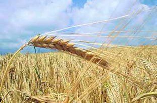 65 هزار تن گندم از کشاورزان گلستانی خریداری شده است